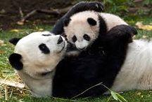oso pandas / osos
