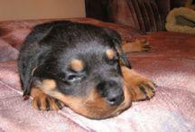 Kenay, my rottweiler! / My beloved, gentle bear, my great rottweiler, my best friend.