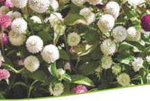 Benary smile / Benary smile is a project between Benary seeds, Germany and Kraft seeds, India to provide Original Benary flower seeds in pictorial packets.
