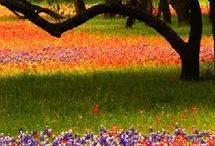 Native Wildflowers / This board is about all the Texas Native Wildflowers and their brilliant colors.