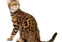 Koty Bengalskie nasza miłość! <3