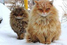 Siberian farm cats, https://www.youtube.com/watch?v=LIOegisInjA&feature=youtu.be