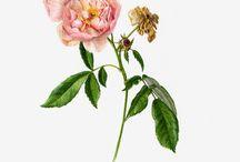 Roses, rosa, růže III