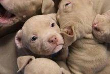 Red Nosed Pit Puppies