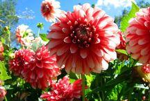 Jardin : magnifiques dahlias d'automne