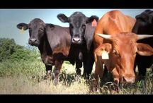 Rain Crow Ranch Video Picks / Rain Crow Ranch is Dr. Patricia Whisnant's family grass fed cattle farm.  These are videos about our ranch.  / by Rain Crow Ranch