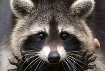 MapacheLovers(Raccoons) / Raccoons/ mapaches *-*