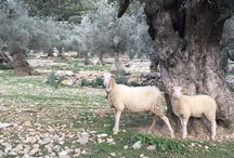 OLIVE TRESS / Our Centennial Olive Trees in Mallorca