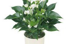 Anthurium / Semua tanaman dalam board ini bisa dikirim keseluruh Indonesia, silahkan order ya, tel: 0341-599399 I SMS center: 08569020300 atau kunjungi website kami www.kebunbibit.id