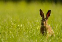 ANIMAL • Hare