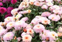 Pépinière Abbotsford / Chef de file en horticulture ornementale au Québec, Pépinière Abbotsford doit sa renommée à la qualité de ses végétaux et à la vaste gamme d'espèces offertes (plus de 1000). Elle offre, de plus, un service-conseil très recherché. Producteur licencé d'Hydrangée «Endless Summer» et des marques Proven Winners et First Edition.