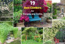 Best Climbers for Pergolas