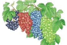 Sweet Berries in my backyard- Growing & Care Ideas
