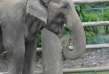 Asian Elephants / by Tulsa Zoo
