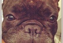 Sir Henri / Französische Bulldogge