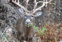 Monster Bucks of Oak Creek Whitetail Ranch / The monster bucks of Oak Creek posted here daily.