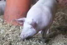 süße schweinchen