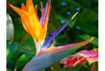 FLOWERS - Bird of paradise