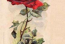 Розы - рисованные