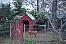 Goats on the Farm / All about having goats on the farm and homestead. I also include other ruminants, like cows and sheep.