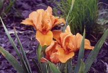 I love Iris / by Diann Pavelka