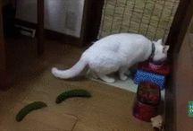 kot boi się ogórka