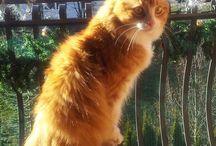 Harlock Olenska / My adorable Siberian cat