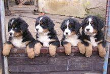 Rasy psů