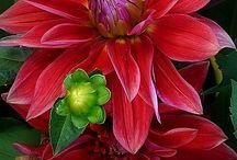 Цветки Георгинов