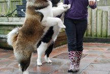 AKITA LOVE / Your one stop shop for the Beautiful Akita Breed :)