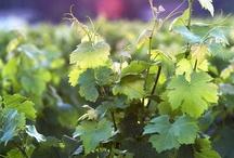 VIGNE ET VIN / Belles photos de vignes et de vins