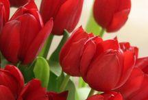 2017 tulip red