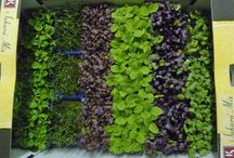 Microgreens / Growing and cooking with microgreens