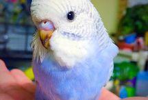vögel (wellensittich)