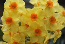 Daffodils & Narcissus / Different varieties of fresh cut Daffodils & Narcissus specifically grown for the wholesale flower trade.