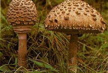 Cogumelos / Cogumelos