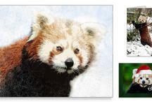Red Panda Love