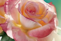 Roses / Varieties of roses / by Donald Kale