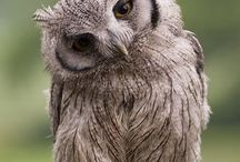 Owl Related Things