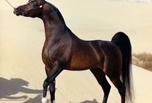 Black arabian horses