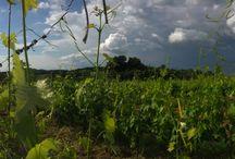 Vineyards /   Vineyard at Pieve de Pitti  and all around the world
