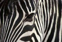 Inspiração Estampa Zebra