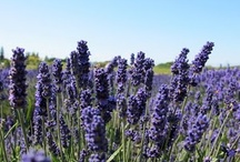 I <3 Lavender / by Cassie Everson