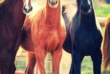 Saddlebreds
