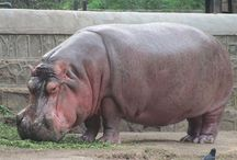 Hippopotamus Sanctuaries in India / Sanctuariesindia: Here you can get information about all Hippopotamus Sanctuaries in India.