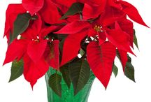 Christmas Gardening / Every gardeners needs plants in their life. Here's some festive plant ideas.