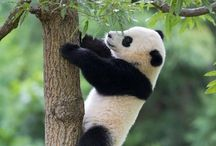 Pandas / Panda Bear Images and Information