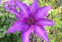 Colours in my garden - Purple