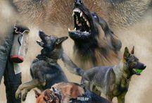 Belgian, Dutch and German shepherds dogs