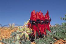 Flora Australian / by Jenny Duke